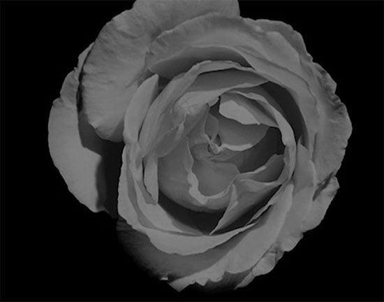 ddp-ruusu